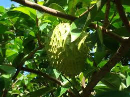 Graviola or soursop tree.