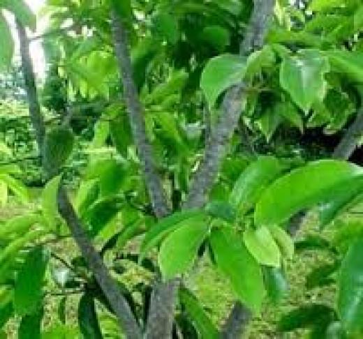 Graviola tree or soursop tree.