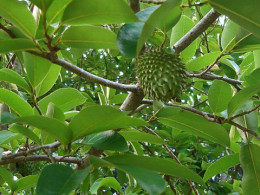 Graviola tree.
