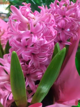 The hyacinth has a fragrance so intense and memorable, just looking at the photo evokes the aroma.