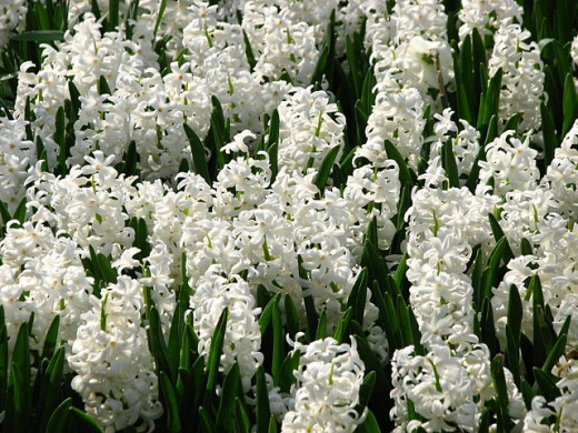 Hyacinths add fragrance and a variety of colors to the Southern garden.