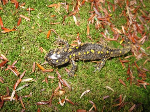 salamander found under a log.