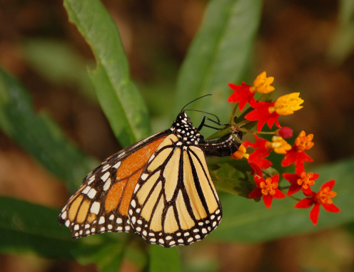 Asclepias (milkweed) repels scrub jays and other birds who dislike the bitter smell and taste it imparts to the monarchs and other  butterflies which feed on it as larva. Look for local native varieties.
