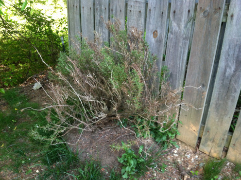 May 6th: The uprooted rosemary plant that was relocated to outside my neighbor's fence (6 weeks ago) has re-rooted and appears to be making a comeback.