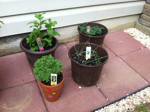 May 5th: Added herbs! Sweet mint, peppermint, chives, boxwood basil.
