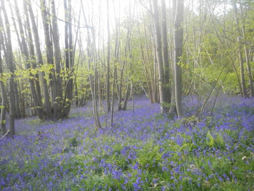 Bluebells - Herstmonceux Castle Gardens