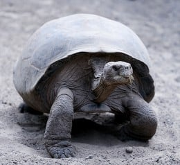 Giant tortoise from the Galapogos