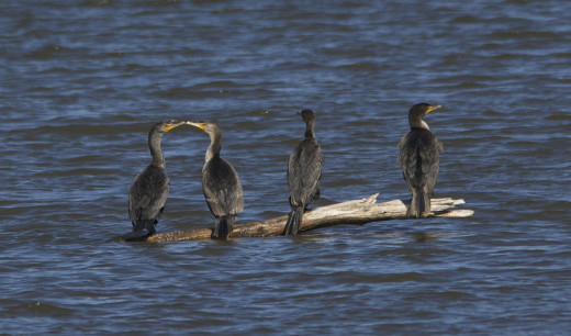 "Double-crested Cormorants ""Kissin' Cousins2"""