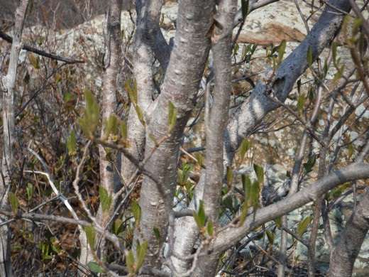 The buds are just barely starting to emerge. May 8, 2014