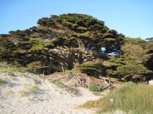 Majestic Monterey cypresses like this one line the path from the parking lot to the beach itself.