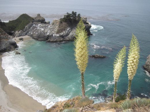 Beautiful tall yucca in bloom on the cliffside.