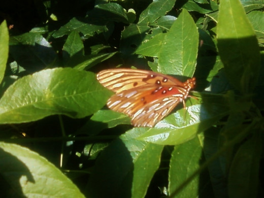 The Japanese see the butterfly as the presence of joy and longevity.