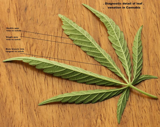 Cannabis leave with its typical shape and venation.
