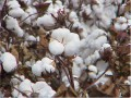The Industrial Revolution: How Cotton Changed the World