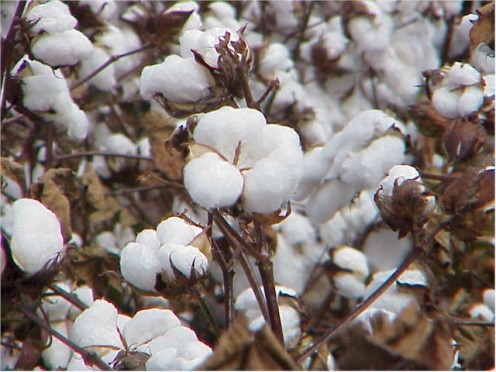Picture of cotton plant from cotton farm in Edenton, NC.