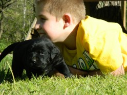 English Labrador Retrievers: Weeks Five and Six