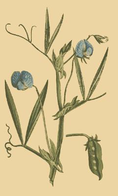 Grass pea, Lathyrus sativus.