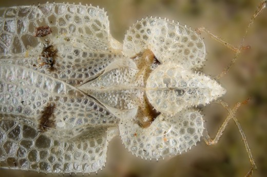 The sycamore lacebug feeds primarily on sycamore trees.