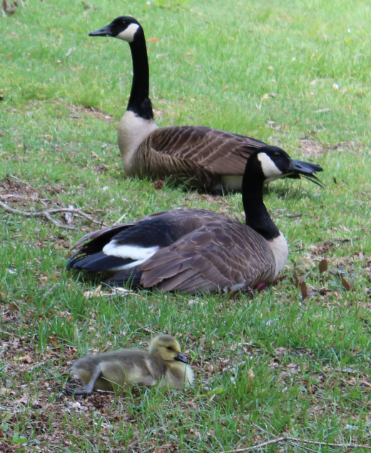 The goose family was unconcerned about the closeness of passersby from years of cohabitating with us.