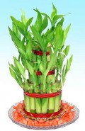 Facts About the Lucky Bamboo Plant