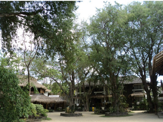 Tall tamarind trees around the resort