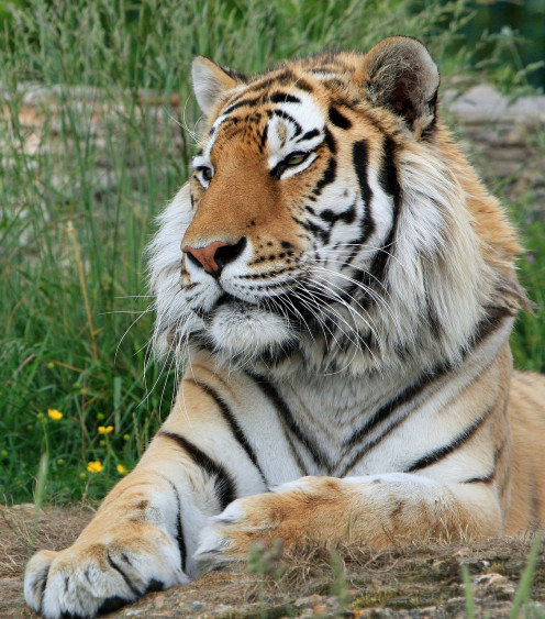 Image of a tiger. stock photography covers a wide range of subjects