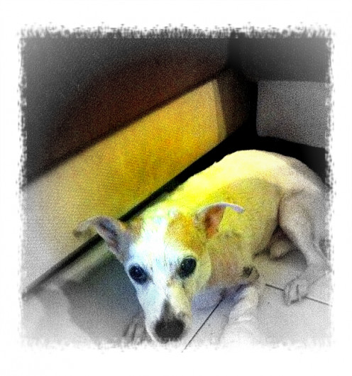 My Jarck Russell Terrier, Rosco
