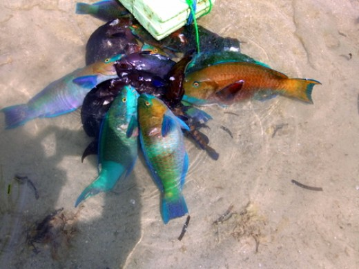 Fishing in the Red Sea: The catch, waiting to be wash, clean and cook. The blue colored fish is the parrotfish