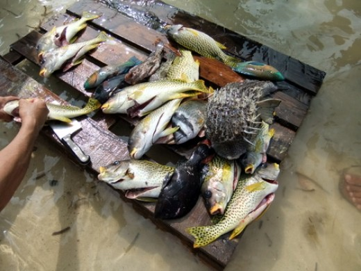 Fishes caught in the Red Sea: Washing and cleaning the fish. Do you see the puffer fish?