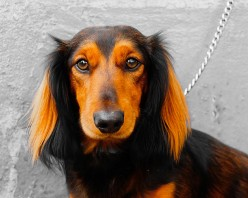 Dachshunds Are Doggedly Delightful!