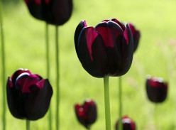 105 Amazing Pictures of Tulips - Tulip Photography at its Best