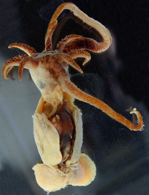 Promachoteuthis Sulcus Ventrolateral View