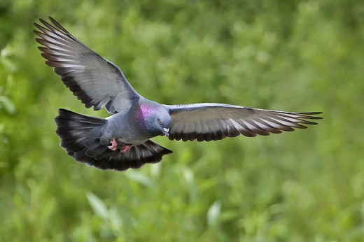 The Rock Dove is a permanant resident of the forest