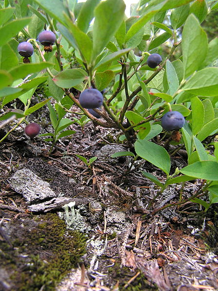 Plenty of fresh Huckleberries throughout the forest