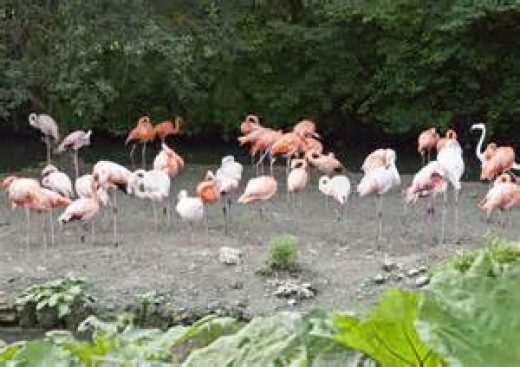 Large Group of Flamingos