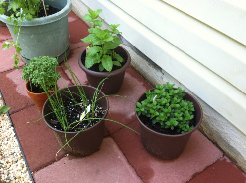 May 16th: Herbs - perhaps my chives aren't going to die after all.