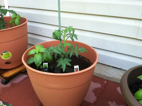 May 16th: Porch tomato and basil.