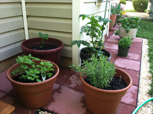 May 16th: Lavender and lemon balm in front; basil and tomato in back.