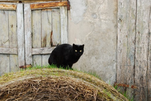 Black cats mean good luck to some, particularly to the witches whose familiar spirits inhabit black cats' bodies.