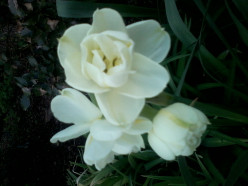 Great picture of a white flowering Daffodil.