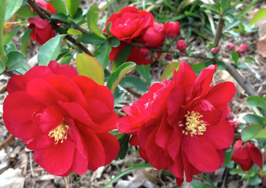 Double Take™ 'Scarlet Storm' Quince Chaenomeles