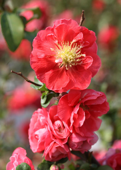 Double Take™ 'Pink Storm' Quince Chaenomeles