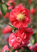 Red hot perennial shrub Double Take™ Quince