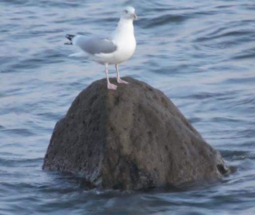 Seagull: noisy nuisance