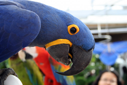 Macaw Parrot | Pic by  PuppiesAreProzac via Flickr