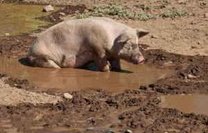 Keeping the pig cool