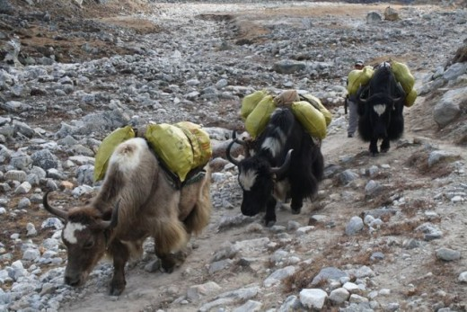Yak train on the trail