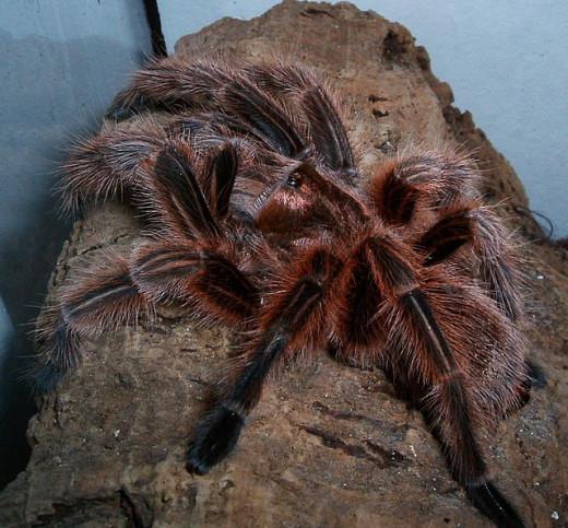 Adult female G. rosea tarantula.