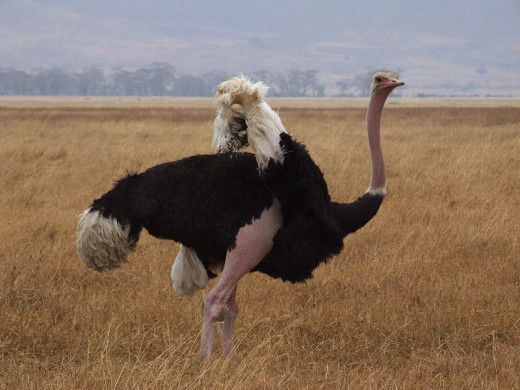 Ostrich showing its small wings.