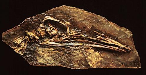 Skull of Pelecanimimus.